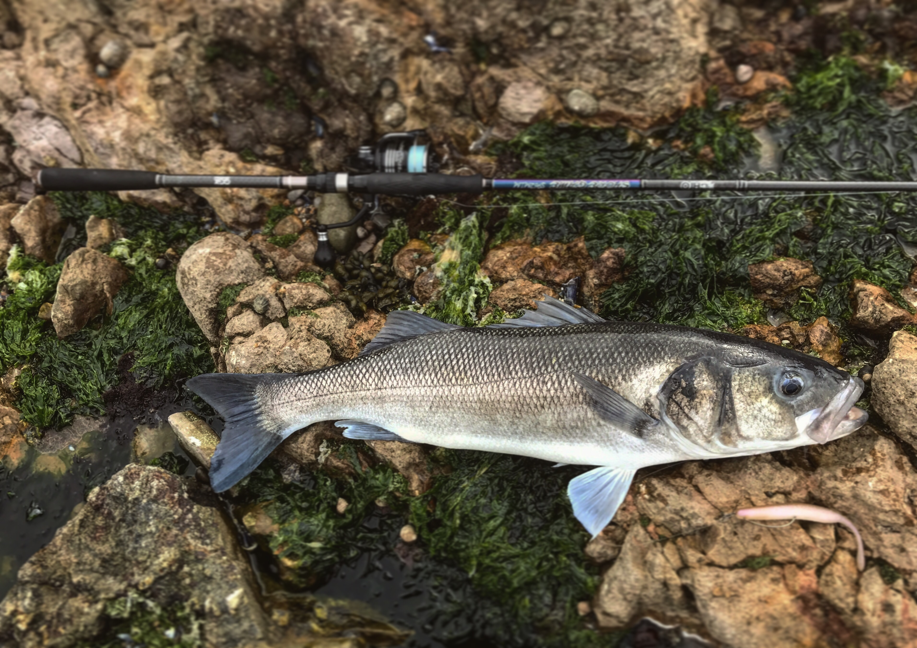 We have in stock frozen salted minnows year round - Something I Have Noticed For Three Years Running Now Is That Once The Below Coastal Flowers Come Out The Bass Fishing On Lures Really Kicks Off